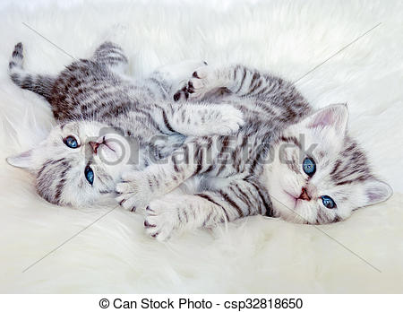 Stock Images of Two young british shorthair silver tabby cats.