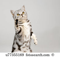 Silver tabby Images and Stock Photos. 1,178 silver tabby.