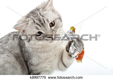 Stock Image of silver tabby Scottish cat playing k8997775.