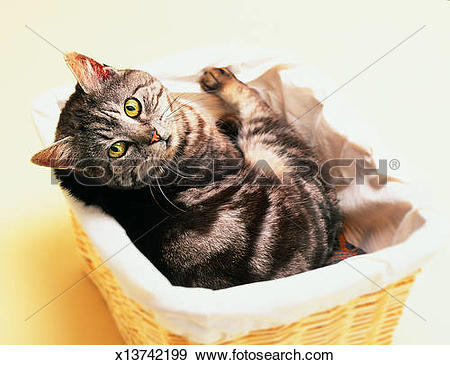 Stock Photograph of Silver Tabby Cat in basket x13742199.