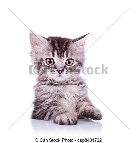 Stock Photo of adorable silver tabby cat.