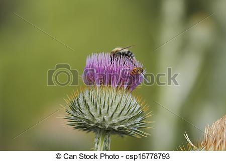 Stock Photographs of Blooming silver thistle Carlina acaulis with.