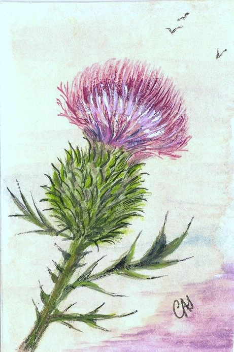 Pix For > Scottish Thistle Drawing.