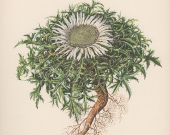 Silver thistle.