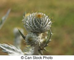 Stock Image of silver thistle.