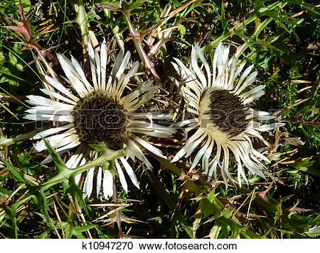 Stock Photography of double silver thistle k10947270.