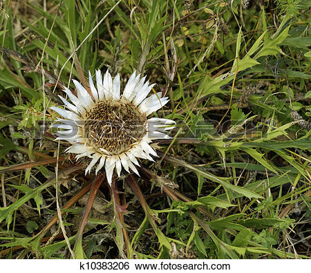 Stock Images of Silver Thistle k10383206.