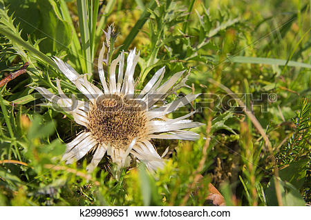 Stock Photography of silver thistle k29989651.