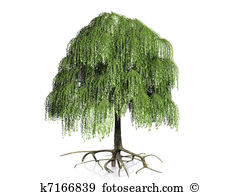 Willow Illustrations and Clipart. 470 willow royalty free.