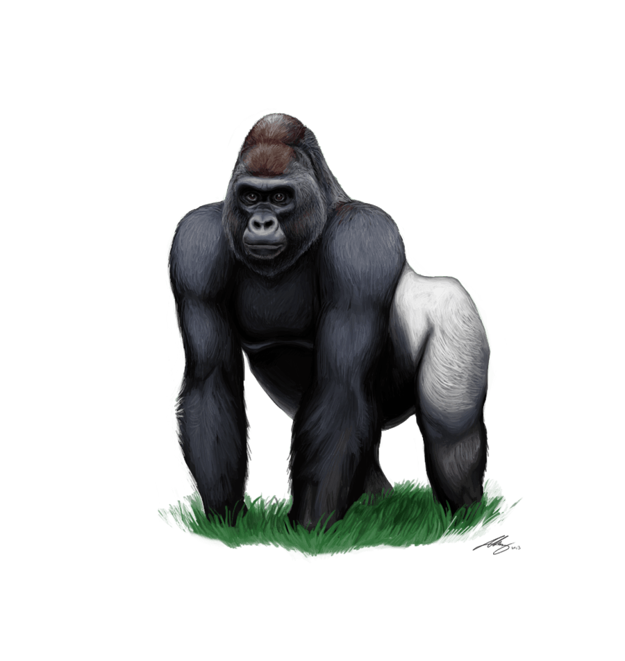 Angry silverback gorilla clipart images gallery for free.