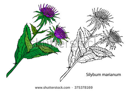 Silybum Marianum Stock Vectors & Vector Clip Art.