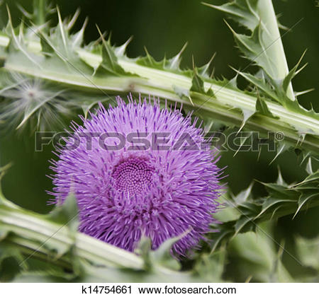 Stock Photography of Pink, spiny, silybum marianum, milk thistle.
