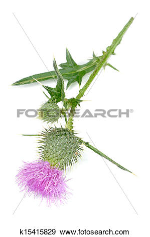 Stock Photograph of Milk Thistle (Silybum Marianum) with Pink.