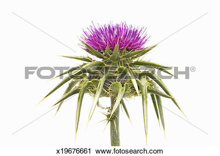 Stock Photography of Marian thistle (Silybum marianum) x19676661.