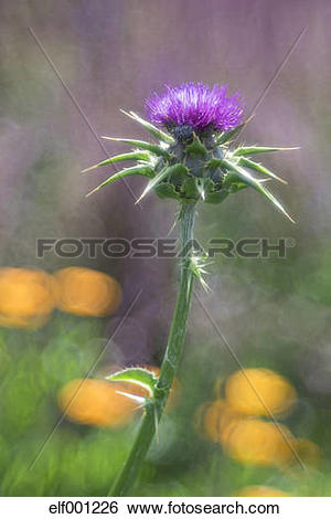 Stock Images of Germany, Blessed Milk Thistle, Silybum marianum.