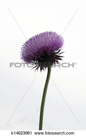 Stock Photography of Pink Silybum marianum (milk thistle) flower.