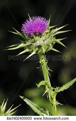 "Stock Photo of ""Milk Thistle (Silybum marianum), Provence."