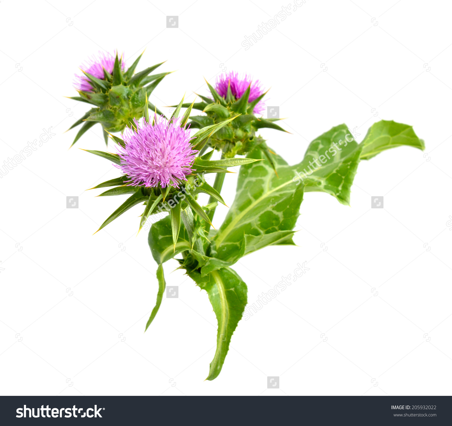 Silybum Marianum Cardus Marianus Milk Thistle Stock Photo.