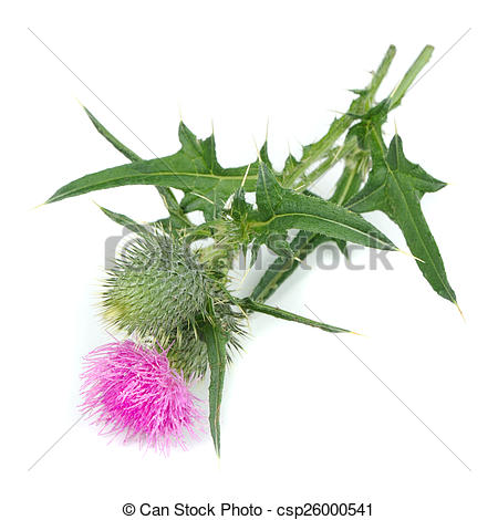 Stock Photo of Milk Thistle (Silybum Marianum) with Flower.