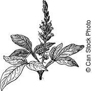 Simaroubaceae Vector Clip Art Royalty Free. 8 Simaroubaceae.