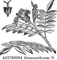 Simaroubaceae Clip Art EPS Images. 8 simaroubaceae clipart vector.