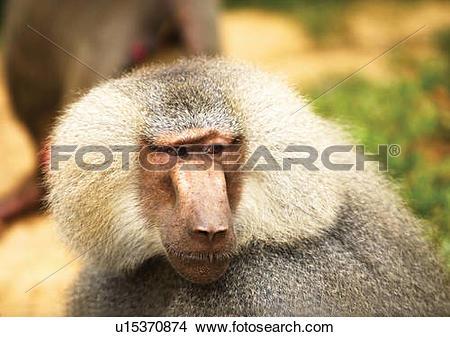Stock Photo of baboon, simian, monkey u15370874.