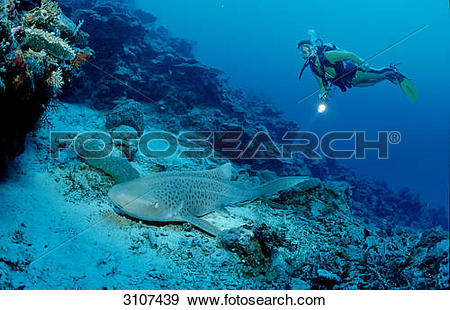 Stock Photograph of Leopard shark (Stegostaoma varium) and scuba.