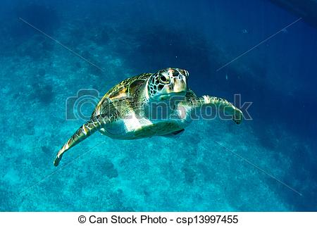 Stock Images of Green turtle at sea surface, Similan, Thailand.