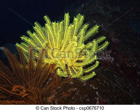 Stock Photography of Yellow and Brown sea lily close.