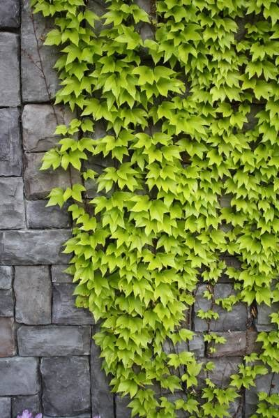 1000+ ideas about Types Of Ivy on Pinterest.