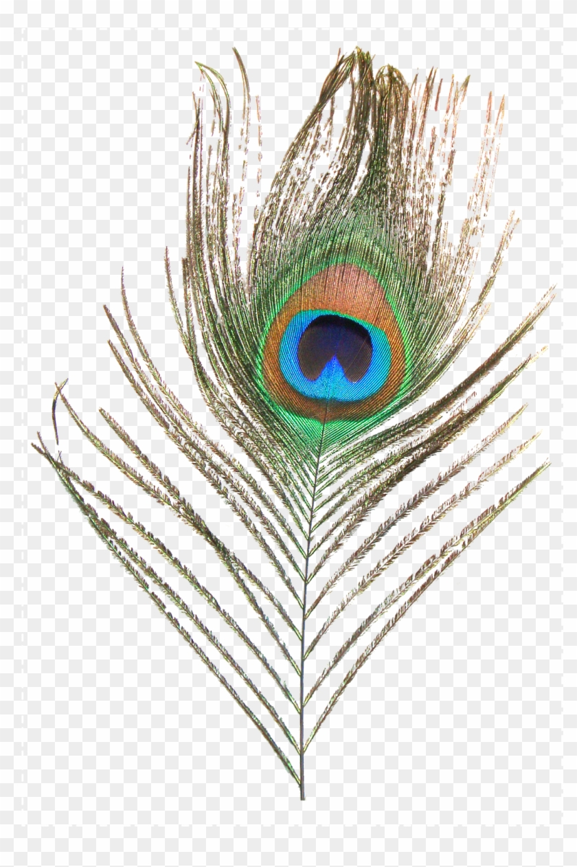 Feather Peafowl Clip Art Transprent Png Ⓒ.