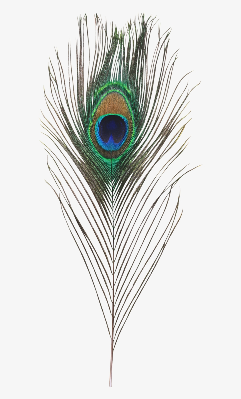 Single Peacock Feathers Png Hd.