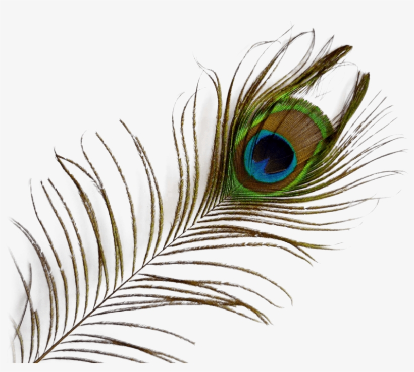Peacock Feather PNG & Download Transparent Peacock Feather.