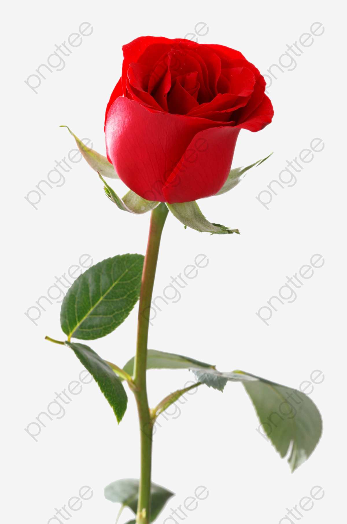 A Single Red Rose, Rose Clipart, Material Object, Gules PNG.