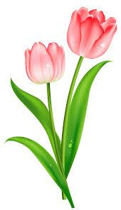 single pink tulip.