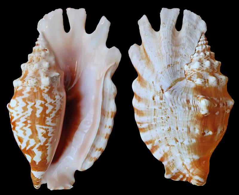 Gastropoda Stromboidea.