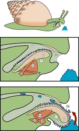 Odontophore.