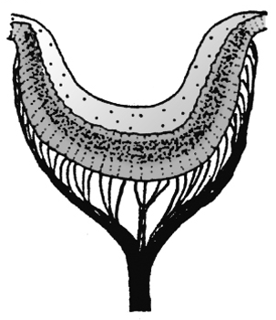 Sensory organs of gastropods.