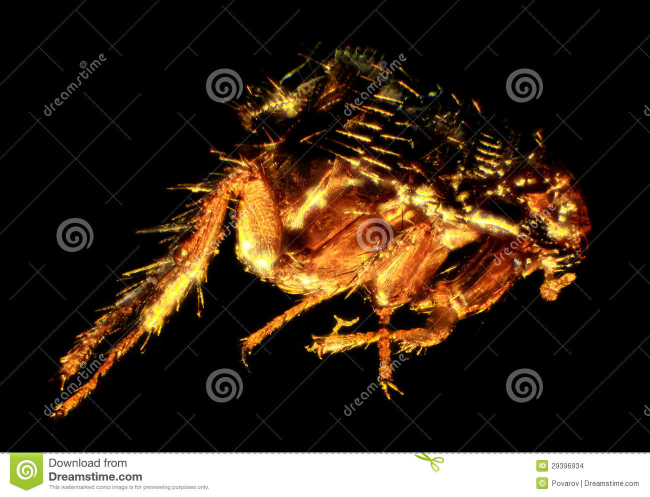 Flea Under The Microscope (Siphonaptera) Stock Images.