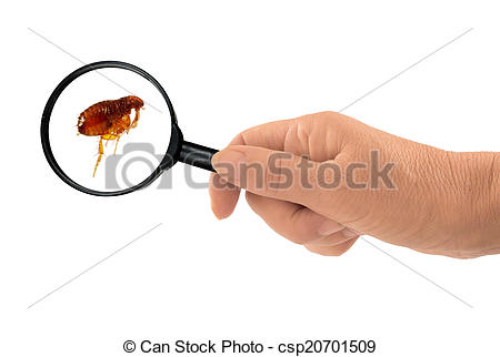 Stock Photography of Flea under the magnifying glass.