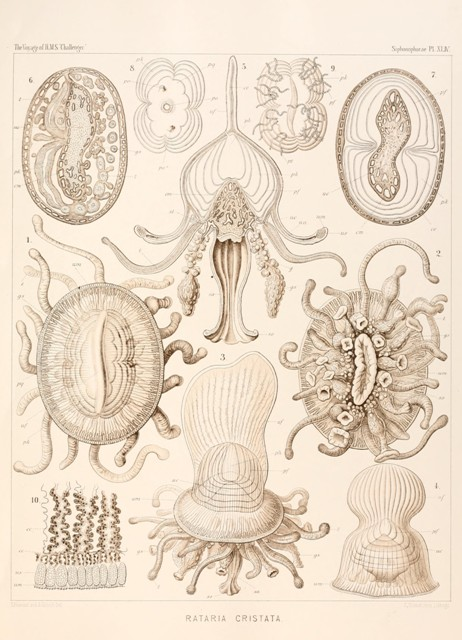 Haeckel.