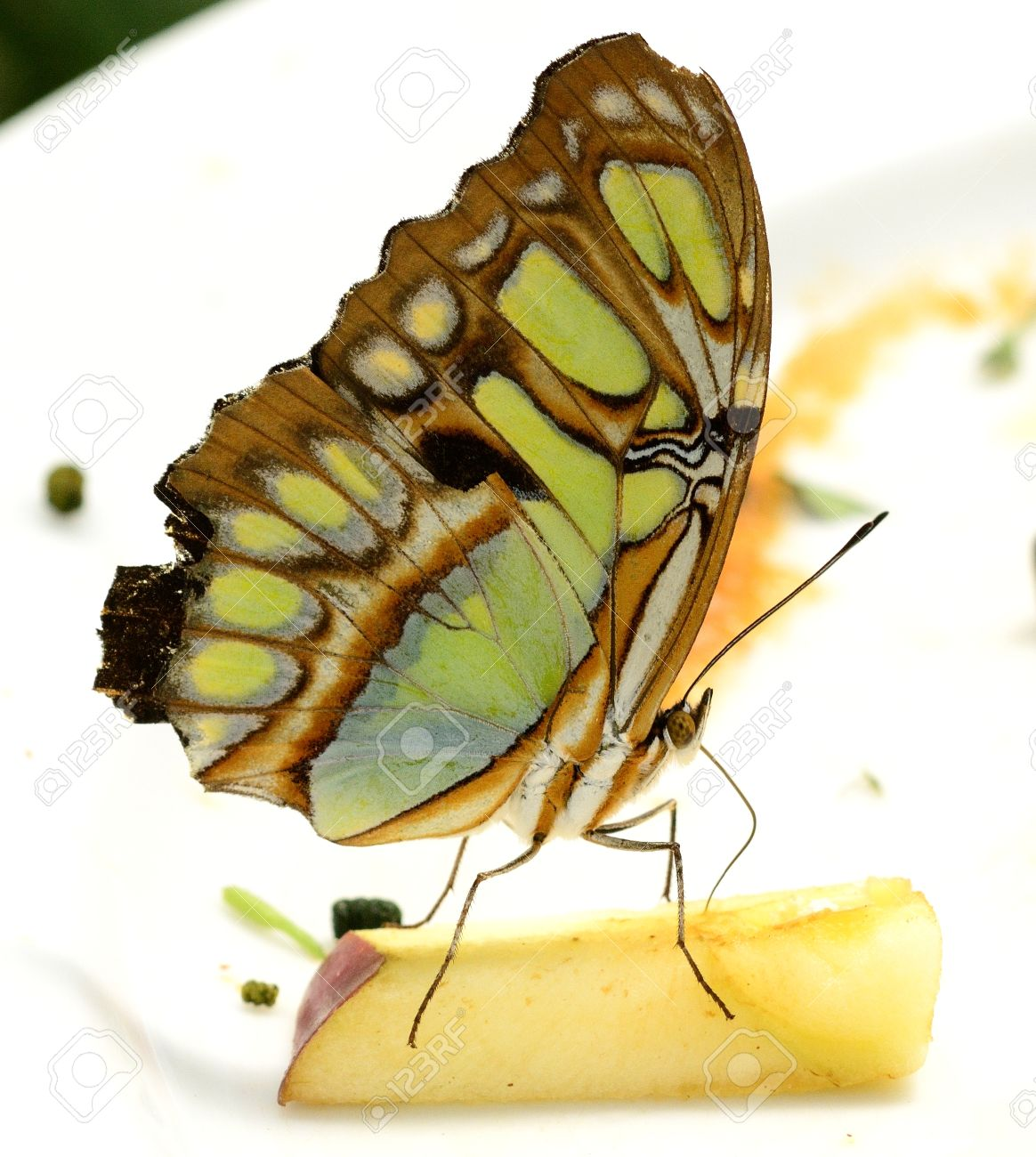 Malachite Butterfly Siproeta Stelens Eating Apple In A Butterfly.