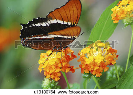 Stock Photo of flower design butterfly brown siproeta tropical.