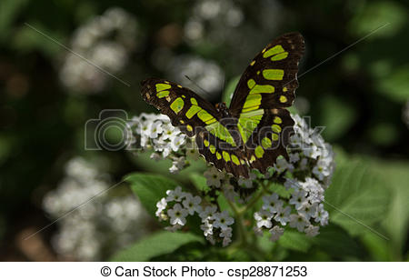 Stock Images of Malachite butterfly, Siproeta stelenes, in spring.