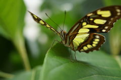 Malachite Butterfly(Siproeta Stelenes) Stock Image.