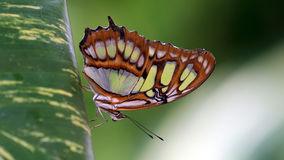 Green Malachite Butterfly (siproeta Stelenes) Stock Photo.