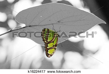 Picture of Malachite (Siproeta stelenes) butterfly perched on leaf.