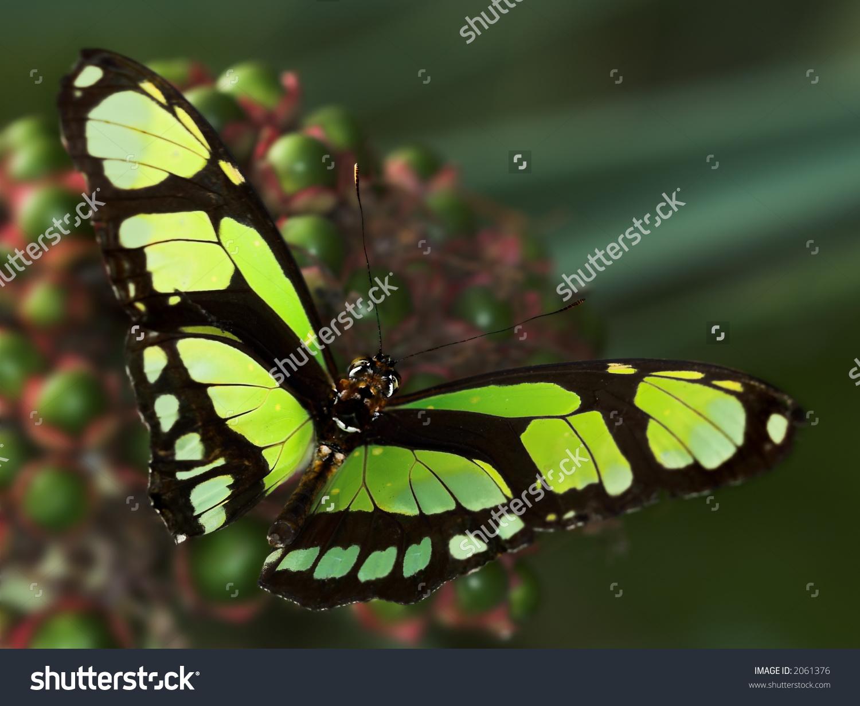 Siproeta Stelenes Biplagiata (Malachite Butterfly) Stock Photo.