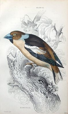 GOLDFINCH Engraved by William Lizars after Stewart Published.