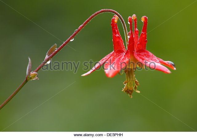 Fan Columbine Stock Photos & Fan Columbine Stock Images.